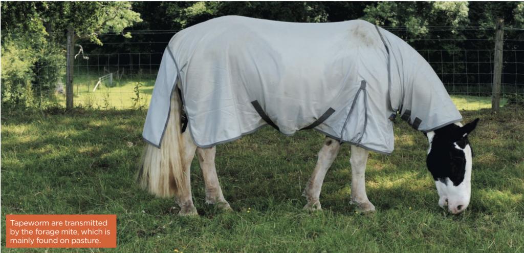 grazing horse in rug